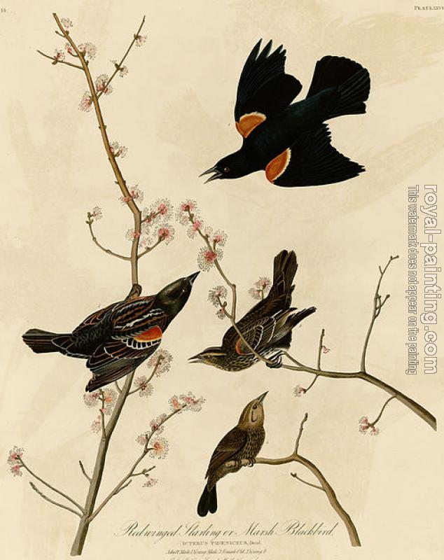 John James Audubon : Red winged starling or marsh blackbird