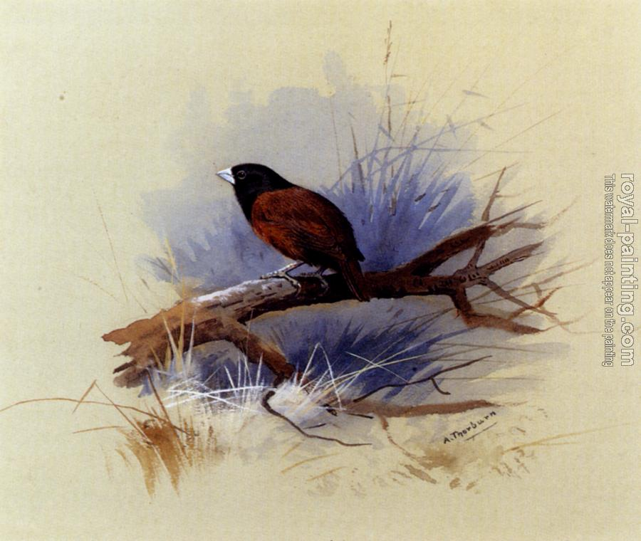 Archibald Thorburn : A Nepalese Black Headed Nun In The Branch Of A Tree