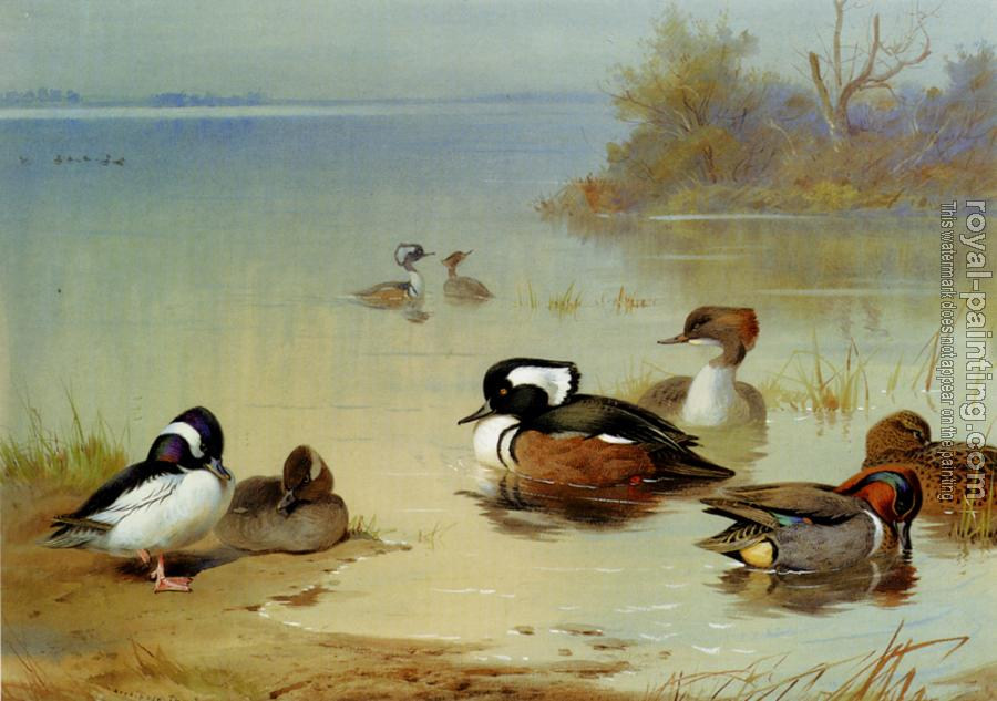 Archibald Thorburn : Buffel Headed Duck American Green Winged Teal And Hooded Merganser