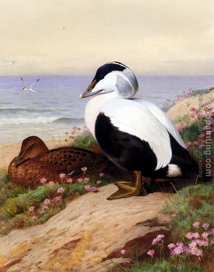 Archibald Thorburn : Common Eider Ducks